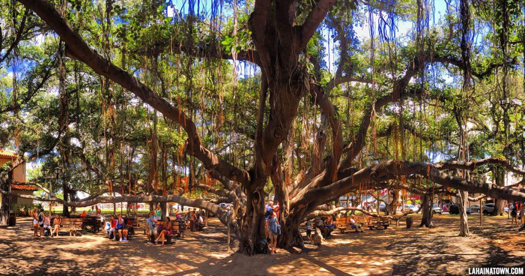 lahaina-banyan-tree